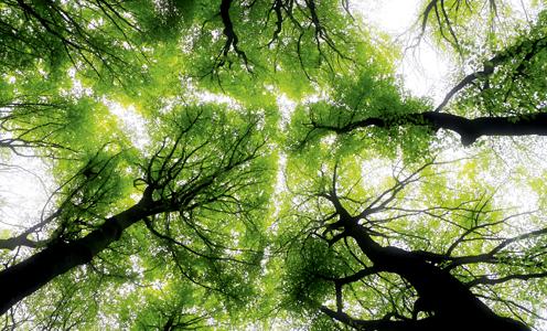 Marcher avec les arbres, l'aulne